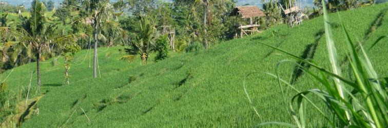 Traumhafte Reisfelder der Gegend