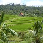 Hütte in den Reisfeldern (ursprünglich)