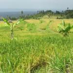 Die umliegenden Reisfelder