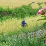 Arbeiter auf den Reisfeldern