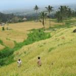 Ausblick über die Reisfelder